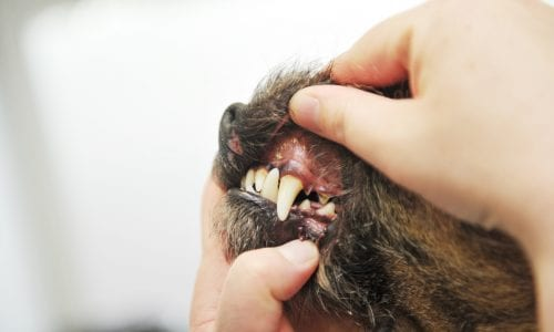 dental care offer at vets in cheshire
